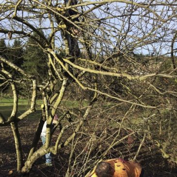 Sunday Jan 25 Meadowbrook Orchard Pruning