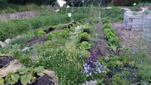 Contrasting colors in the Meadowbrook Community Garden display nicely
