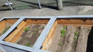 potato plantings in the newly donated community garden boxes