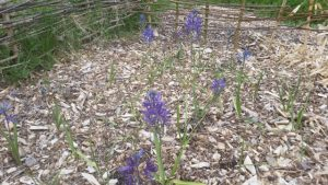 camas plantings in the fig orchard