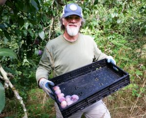 Harvesting plums from the Orchard