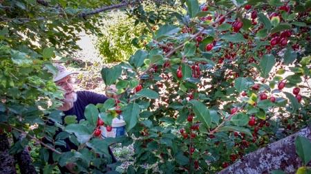Harvesting Goumi Berries
