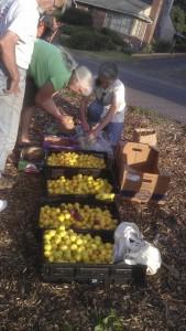 Yellow Plum Harvest