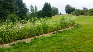 Buckwheat in full bloom at the Fig Orchard