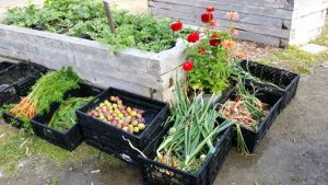 A bounty of harvest; this weeks donation to food bank included