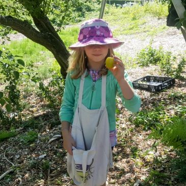 Yellow Plum Harvest and Sunshine